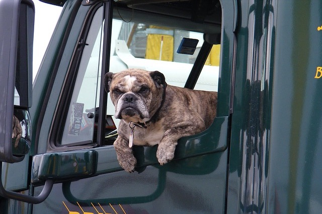 Bulldog looking out the window of a semi-truck